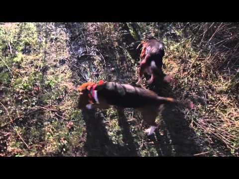 Beagles Running Rabbits -- Gun Dog Supply's Steve Mitchell Training Rabbit Dogs