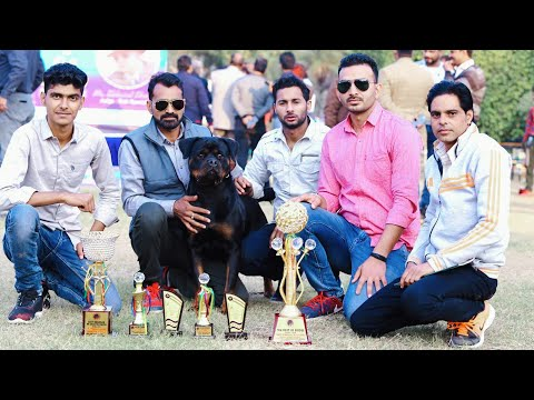 BEST ROTTWEILER KENNEL || NO.1 ROTTWEILER KENNEL IN INDIA || VOM GEHLAUT ROTTWEILERS || TOP DOGS ||