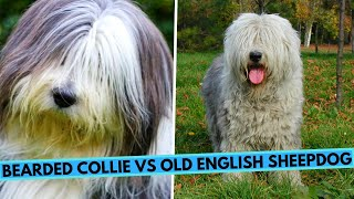 Old English Sheepdog vs Bearded Collie  Breed Comparsion
