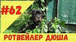 РОТВЕЙЛЕР ДЮША 62.дрессировка и воспитание собаки