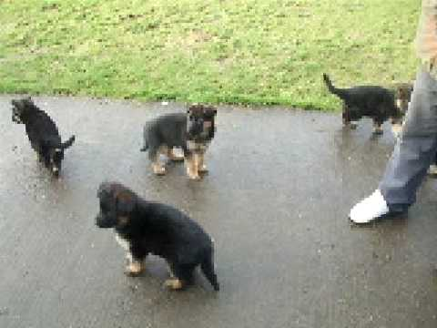 6 Week Old German Shepherd Pups In The