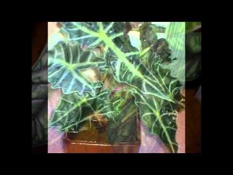 Уютный дом-АЛОКАЗИЯ крупнокорневая – Alocasia macrorhiza Schott -находка интернета