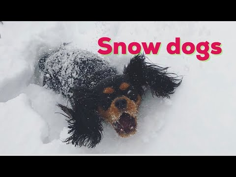 Happy dogs in the snow | Cavalier King Charles Spaniel
