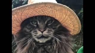 世界一麦わら帽子の似合うメインクーンのルイさん、カントリーライフを満喫
