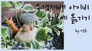 분갈이 하는방법 - 아이비 수경재배  [flower l…