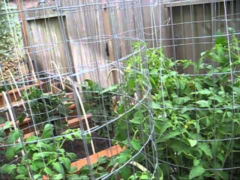 High Yield Tomato Plants: 50-80 lbs per Plant
