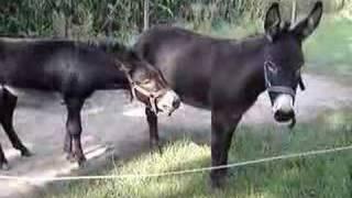 Ezels - Donkeys