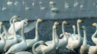 El Lago de los Cisnes - Chaikovski - Stafaband