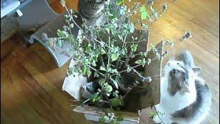 Fresh Catnip Plant