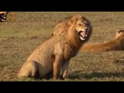 Lion Laughs Madly   Funny    Dubbed