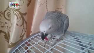 Папугай Жако очень  любит массаж
