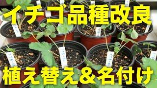 ユーチューベリーを作ろう!イチゴの植え替えと品種改良の系統名の名付け