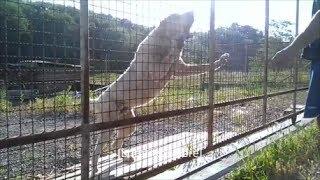 Giant guard dog ( Central Asian Shepherd ) , Alabai , SAO.