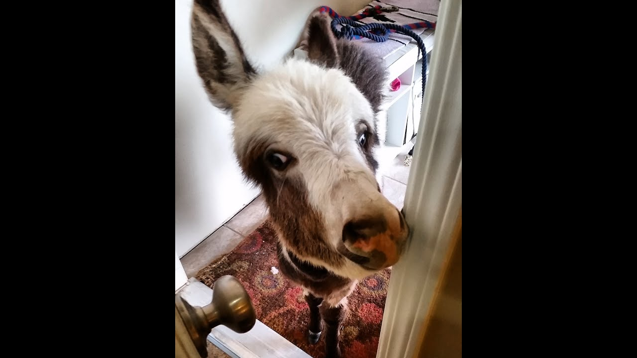 Donkey Invasion! Donkeys in the House! [Funny animals] [cute animals doing cute things] cute pets