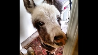 Repeat youtube video Donkey Invasion! Donkeys in the House! [Funny animals] [cute animals doing cute things] cute pets