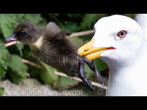 Seagull Has Eaten A Baby Duck In One Quick Gulp