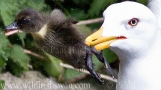 Seagull Swallows Baby Duck... NOT FOR SENSITIVE VIEWERS!
