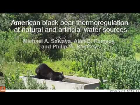 American black bear thermoregulation at natural and artificial water sources