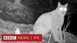 切爾諾貝爾輻射區成野生動物天堂- BBC News 中文