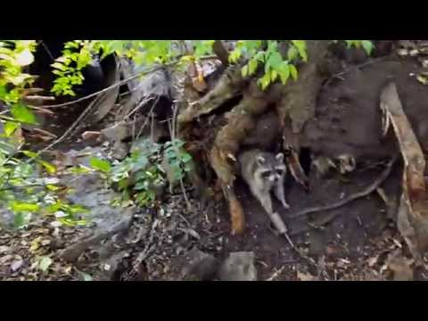 Raccoon Trapping- Fast and Efficent