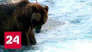 Глобальное потепление заставило белых медведей спариваться с гризли - Россия 24
