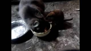 Кошки и крыса