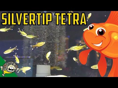 How To Care For Silvertip Tetras. Hasemania Nana - Silver Tip Tetra School Size.