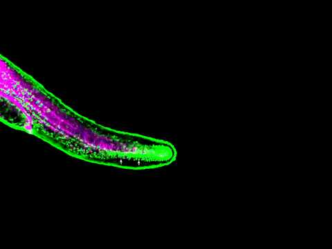 Zebrafish fin development