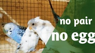 winter breeding of budgies-- solve mating and egg problem