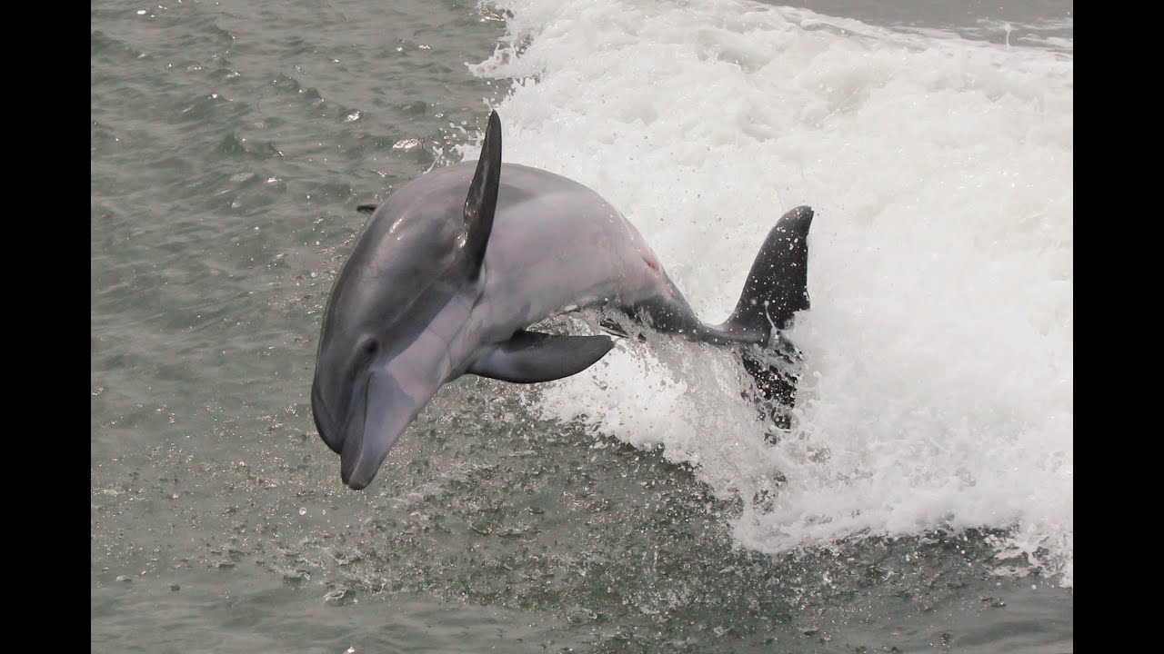 Dolphins Jumping In The Wake Of Rudee Flipper Va Beach