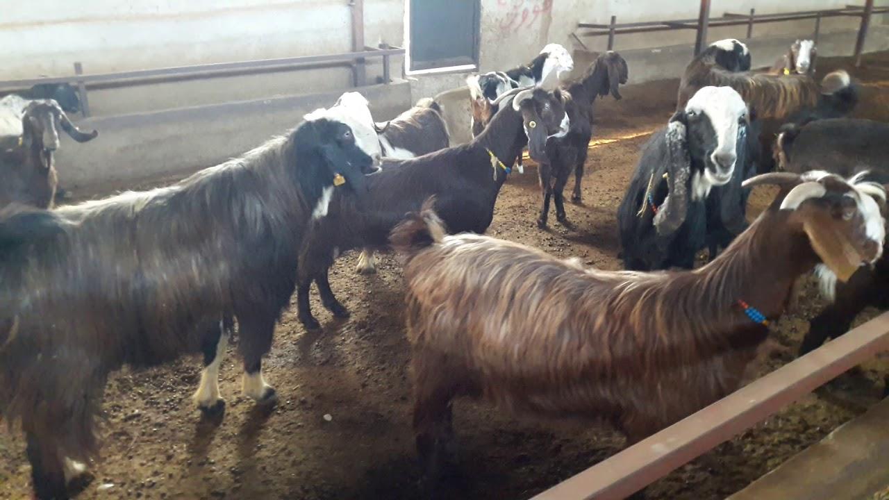 @Bereket TV  Çobanın Sesi - Urum Keçisi Yetiştiriciliği