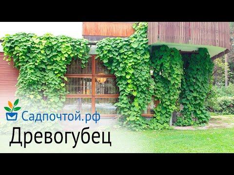 Древогубец - декоративная зимостойкая лиана