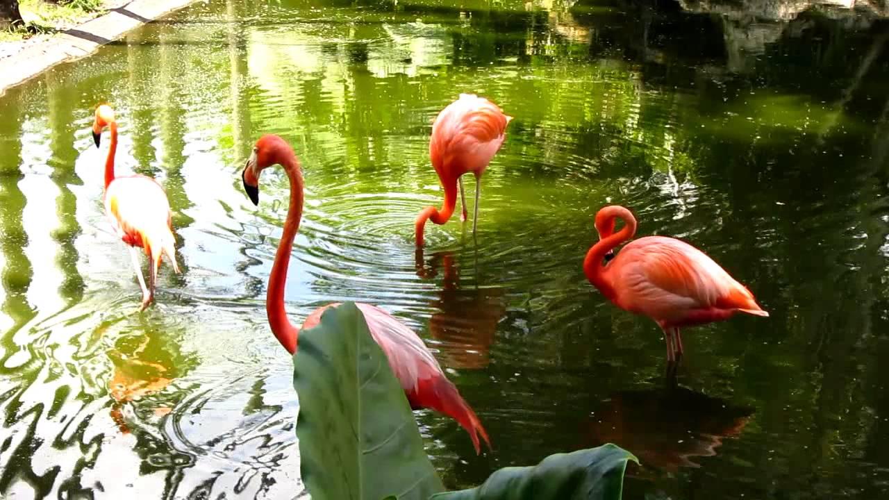 Pink flamingo birds flamingo gardens wildlife sanctuary - Flamingo gardens fort lauderdale ...