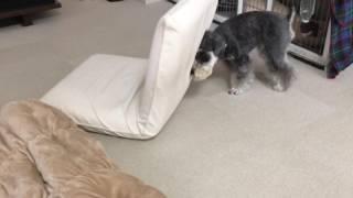 座椅子に体をスリスリするシュナウザーの動画です トミーとラルフの生活...