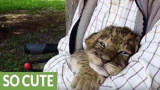 Tiny tiger cub tries to roar