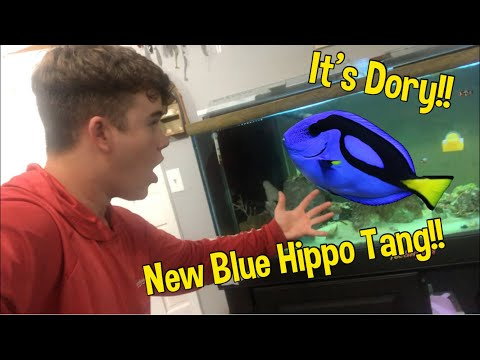 My New* Blue Hippo Tang!!!