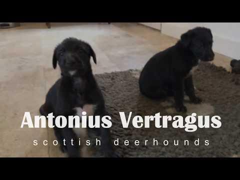 Deerhound puppies
