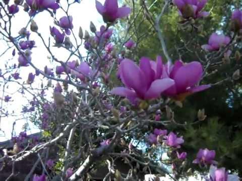 Tulip Magnolia Tree Bloomingavi Youtube