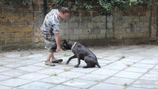 Дрессировка собак в Ялте и Крыму. Кане-корсо