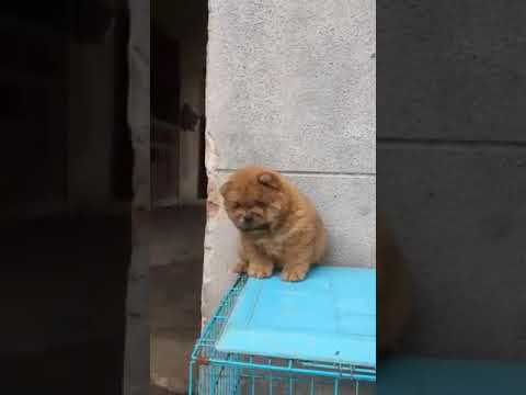 Import line Chow chow pups for sale in mumbai pune ahmedabad with kci papers n microchip 9671116765