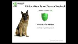 Prevention Of Pituitary Dwarfism Of The German Shepherd - Growth Retardation - Antagene