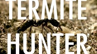 Termite Hunter - trap-jaw ants and termites