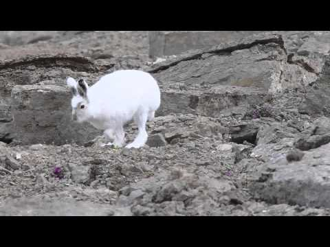 Arctic Hare stretches on the rocks at Arctic Watch