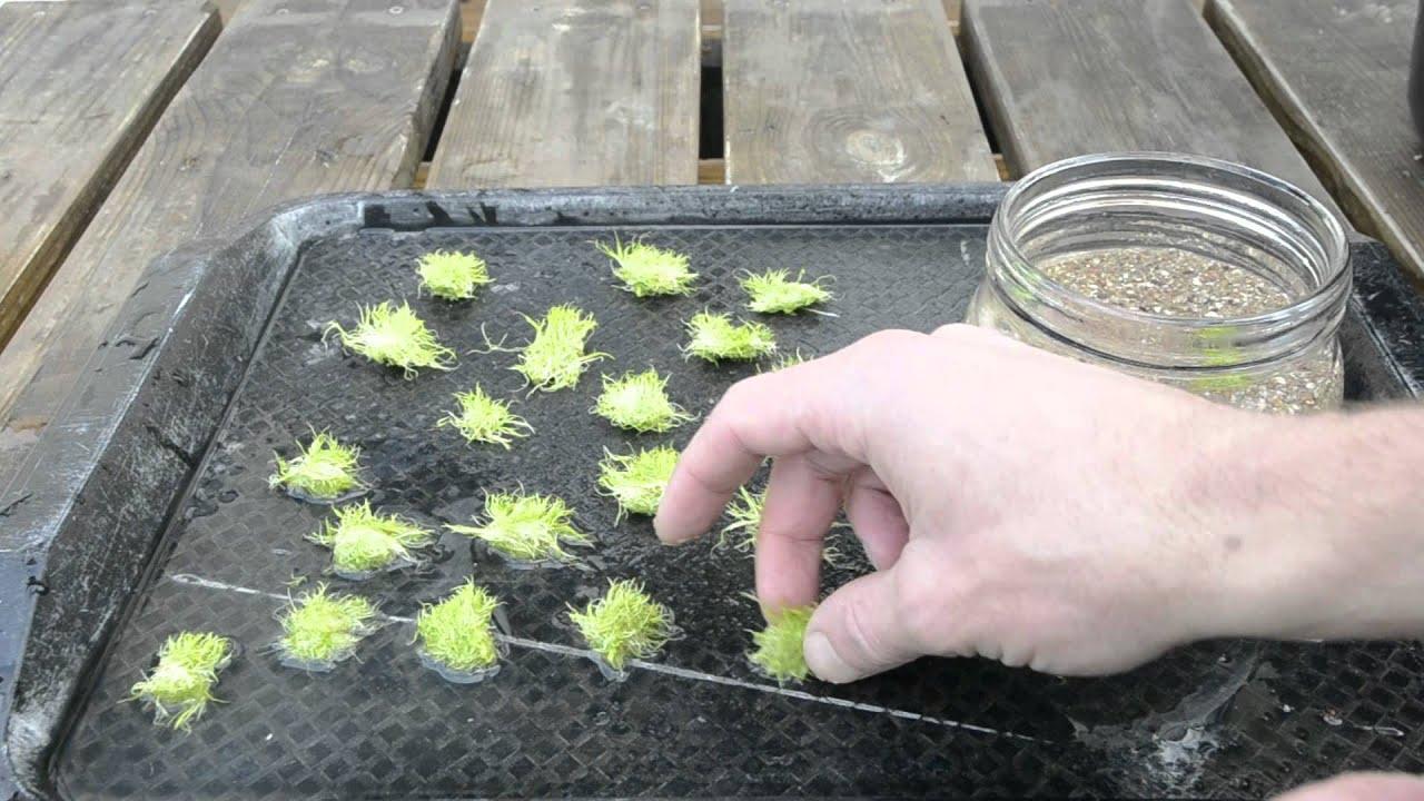 Utricularia graminifolia emersed