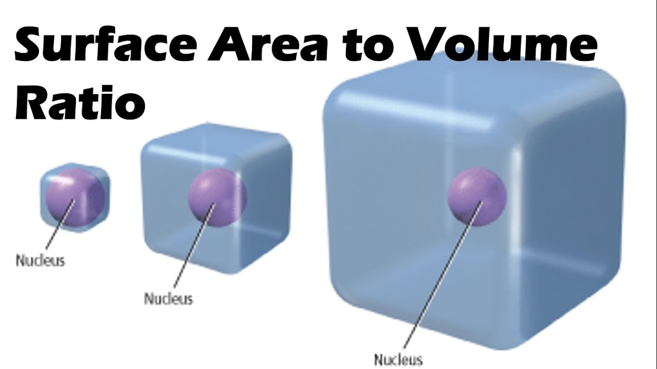 what is the relationship between surface area and volume of a cell