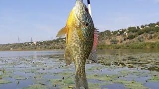 Солнечный окунь, царек, обыкновенная солнечная рыба