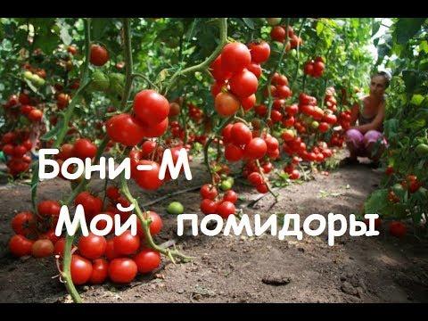 Ответы@: Мне разрекламировали сорт томата Бони-ММ