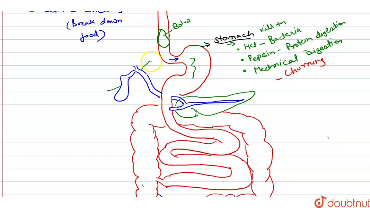 A  Draw A Labelled Diagram Of The Human Digestive System