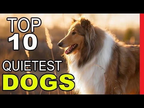 Top 10 Quietest Dog Breeds  - Video Dogs Breeds - Best Dog Breed Compilation