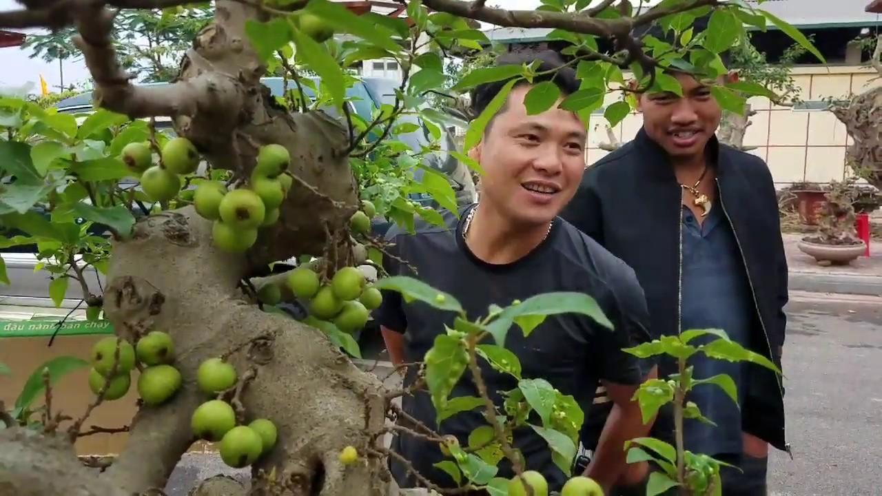 SH.2006.Báo giá 30tr cây Sung thân hoành tầm trung đẹp và nhiều loại khác tại Đồng Mô hôm nay.